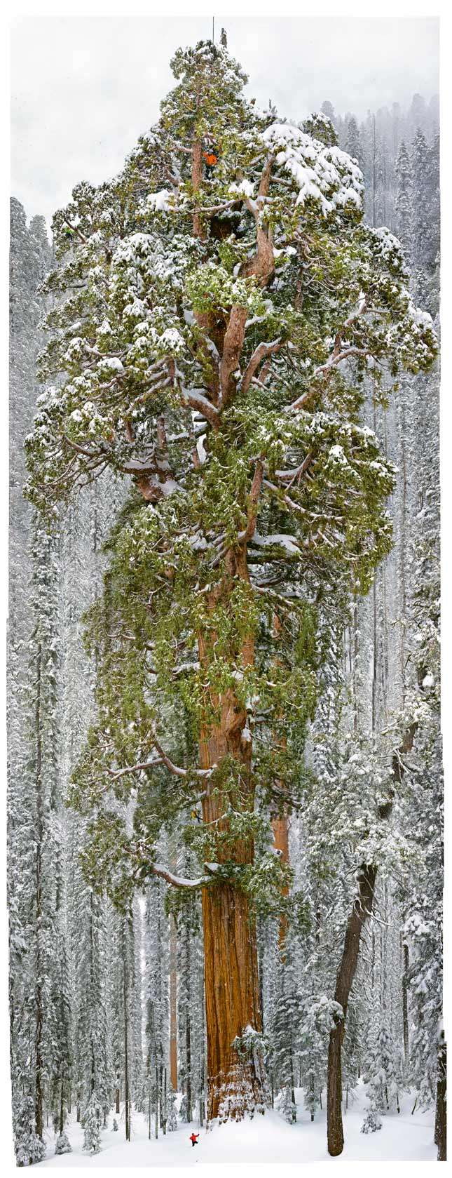 snow-tree-645x1708